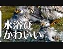 大量のムクドリが一斉に水浴びして芋洗い状態Σ(゚Д゚)