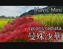 曼殊沙華を空撮 - Lycoris radiata in full bloom - DJI Mavic Mini