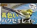 1005【黄色いハクセキレイ幼鳥】カルガモコガモがコサギの捕食を警戒、鳩の正面顔かわいい、ヒヨドリの鳴き声。死にかけたオオカマキリの威嚇【 #今日撮り野鳥動画まとめ 】 #身近な生き物語