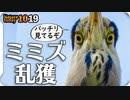 1019【巨大ミミズがアオサギに食べられる】ゴイサギ幼鳥ホシゴイ、カワセミペリット、カルガモ親子X組の奇形と珍色兄弟、ふくら雀、セキレイ捕食【 #今日撮り野鳥動画まとめ 】 #身近な生き物語
