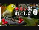 1021【ハナミズキがメジロに食べられる】白いカエルとコスモスやマルガモ?マガモ?のエクリプスと幼いカワセミと成鳥にスズメとカラスのカキカキやカルガモ【 #今日撮り野鳥動画まとめ 】 #身近な生き物語