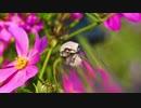 【4Kカエルと音楽】白いカエルとピンクのコスモス 明るいポップ Miss You Love Patiño オーディオ ライブラリ