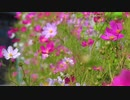 【4K花と音楽】コスモス満開 ロマンチック カントリー&フォーク Back To Portland TrackTribe オーディオ ライブラリ