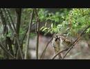 【ノーナレ動物動画】スズメの親離れ Sparrow will be soon Leave parents