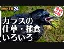 1024【カエルがカラスに食べられる】ハシボソの面白い行動、仕草、捕食。ヒドリガモの鳴き声エクリパスのコガモ、奇形のカルガモ、変わった凧揚げ【 #今日撮り野鳥動画まとめ 】 #身近な生き物語