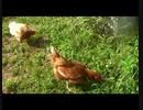 鶏を飼ってみた:01