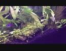 我が家のミナミヌマエビ水槽 その2
