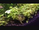 我が家のミナミヌマエビ水槽 その3