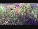 我が家のミナミヌマエビ水槽 その4