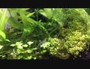 我が家のミナミヌマエビ水槽 その5