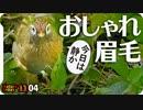 1104【ガビチョウ発見】マガモ?カルガモ?マルガモ久しぶり。カイツブリにメジロの鳴き声、コサギ幼鳥?コガモのエクリプス【 #今日撮り野鳥動画まとめ 】 #身近な生き物語