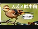 1105【スズメに似た鳥はホオジロ?カシラダカ?オオジュリン?】脚ケガ悲劇のハクセキレイの捕食、真夜中のゴイサギ、アオジや白めのムクドリ【 #今日撮り野鳥動画まとめ 】 #身近な生き物語