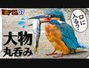 1107【カワセミ捕食アブラハヤ食べられる】カルガモ悲劇の足ケガと奇形。ビッグバンアタック。マガモとコガモ。かわいいジョウビタキやクコの実【 #今日撮り野鳥動画まとめ 】 #身近な生き物語