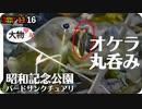 1116【昆虫捕食ジョウビタキとオオバン】スズガモにオナガガモ、ツグミなど、冬鳥が渡ってきた昭和記念公園バードサンクチュアリ【 #今日撮り野鳥動画まとめ 】 #身近な生き物語