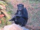 アルファオスのチンパンジーを観察してみた(かみね動物園)