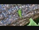 【昆虫飼育】キリギリス系の幼虫を成虫にしてみた