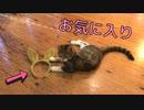 最近のお気に入りはカチューシャな猫【キジ三毛のまる】