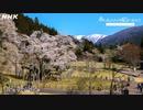 [8Kタイムラプス紀行] 根尾谷の淡墨桜   岐阜 淡墨公園   Usuzumizakura Cherry Tree in Full Bloom   NHK