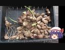 ゆっくり農民148サトイモを育ててみませんか?