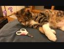 【爪切り失敗!?】おとなしい猫の爪を切ろうとしたら暴れるモードで大変でした…