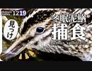 1219【冬眠ドジョウがタシギに食べられる】名前わからない鳥、イソヒヨドリ捕食。メジロどアップや赤い実食べるツグミ、コガモ鳴き声タヒバリやカワセミ、アオジ #今日撮り野鳥動画まとめ  #身近な生き物語