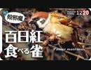 1220【百日紅食べたいスズメ】カワセミ捕食に小さな猛禽モズ。人馴れハクセキレイどアップ&喧嘩空中戦。カルガモに木の実が食べられる【 #今日撮り野鳥動画まとめ 】 #身近な生き物語