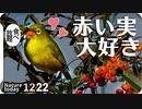 1222【メジロと赤い実】セグロセキレイ捕食、ネズミモチがヒヨドリに食べられる、水飲みも。アオジの雄雌、スズメとツグミがピラカンサに集まる【 #今日撮り野鳥動画まとめ 】 #身近な生き物語