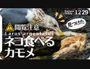 1229【ネコ食べるカモメ】鳥の糞で植物の種が拡散。カルガモ交尾失敗、ヒドリガモ鳴き声、スズメ、ピラカンサがムクドリに食べられる、腐肉食スカベンジャー【 #今日撮り野鳥動画まとめ 】 #身近な生き物語