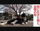 街に生きた猫たち、追憶の桜の風景