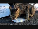 「出産後の食欲がスゴすぎた」生魚を一匹平らげる野良猫の様子