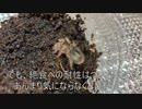 [アネモネ、あぁぁぁ]タランチュラ飼育日記その52[ぁぁぁぁ(恍惚)]