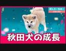 """飼い主を噛み続ける""""凶暴""""秋田犬、だけどかわいい"""