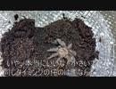 [世界最短]タランチュラ飼育日記その55[めざせオリンピック]
