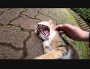 あくびが止まらない野良猫にナデナデしたらヘソ天モードで甘えて来た
