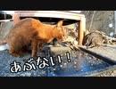 猫の能力【魚の骨回避のオエー、ぶつかりを最小限に抑える子猫】