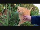 大あくび連発の茶トラ猫をモフっていたらキジトラ猫が乱入してきた