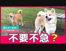 緊急事態宣言をものともしない秋田犬が実に威風堂々