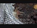 [ニアミス大賞]タランチュラ飼育日記その65[思わせぶり]