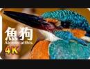 【4K撮影】キレイな青い鳥に超接近。鮮やかな水色とオレンジ、長いくちばしの小鳥でも華麗な捕食者。ブッポウソウ目カワセミ