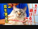 【激萌えバトル】耳を食べたい飼い主VS第六感を持つ猫