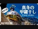 0113R【冬越しするカメ外来種】冬にアカミミが甲羅干し。毎日野鳥を取り続けた結果。 鶴見川水系恩田川の野鳥と生き物  #身近な生き物語