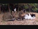 サビ猫の背中トントンするとベロを出して反応する姿が可愛すぎる