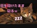 目を開けたままイビキを掻く猫がこちらです…w