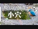 0123B小さい穴に飛び込みたいカワセミ #身近な生き物語 #今日撮り野鳥動画まとめ
