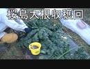 陰キャの【家庭菜園】4年目 番外編その1《桜島大根収穫》