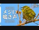 メジロの鳴き声03 birdsong of Japanese White-eye / Zosterops japonicus 目白・繍眼児
