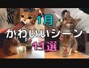 【1月ベスト!】キジ三毛猫のかわいい動画11選【2021/1】【第3回】