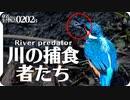 0202Bカワセミが小エビを捕食 コサギ、ダイサギ、カイツブリ・・・川の捕食者達