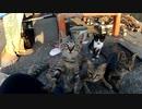 狂暴な野良の子猫がフレンドリーになっていく様子 1【野良猫鶏肉騒動終幕】