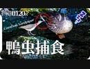 0120R【カルガモつつく鳥】捕食イソシギ。プチトマトくわえたヒヨドリ。ジョウビタキのオスメス。シジュウカラ水浴びとメジロ鳴き声。P1000 #身近な生き物語 #イソシギ #バードウォッチング